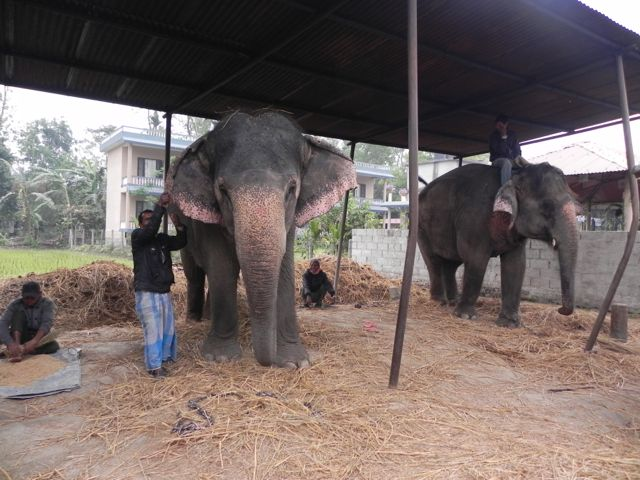 Elephant abuse in Nepal: Are the mahouts really to blame?