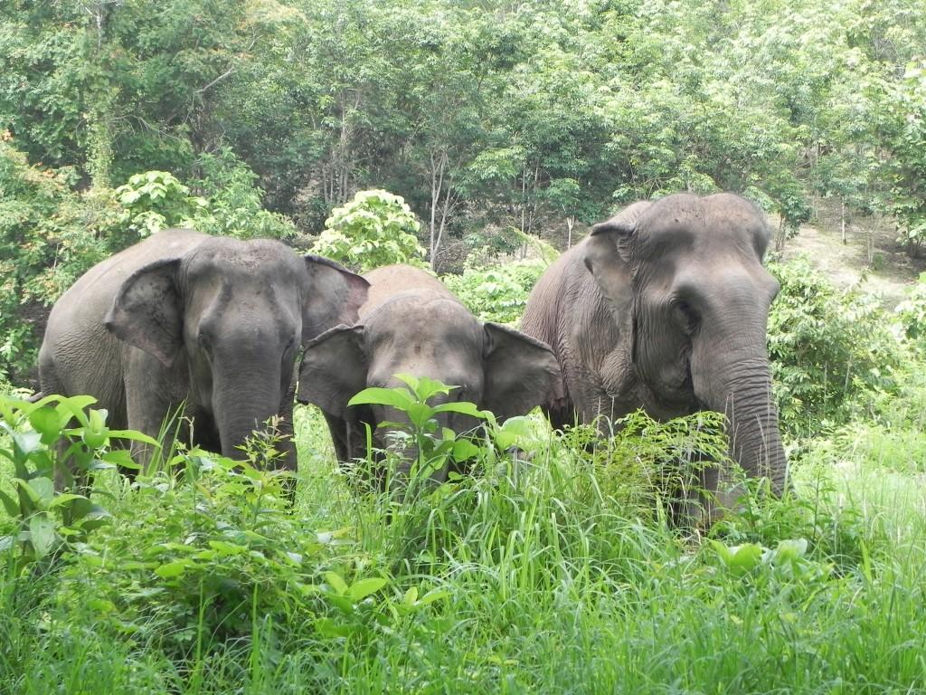 chain free elephants