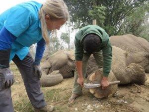 Carol watching mahout trim feet