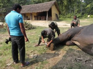 elephant foot trimming in Bardia