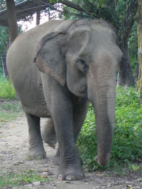 elephant Mel Kali