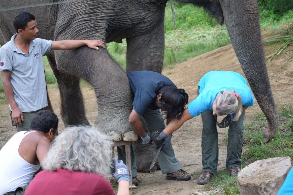 Elephant foot trimming workshop taught by Carol Buckley