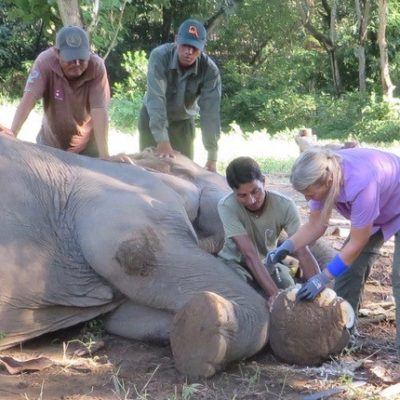 Carol Buckley shows mahouts how to trim elephant feet