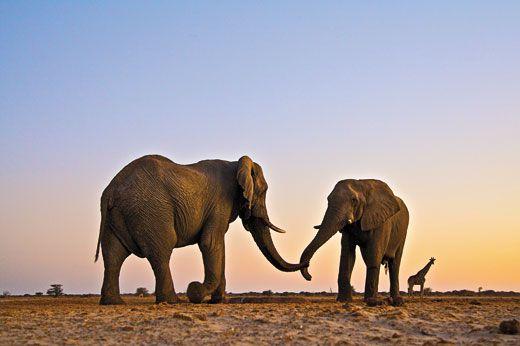 bull elephants bonding