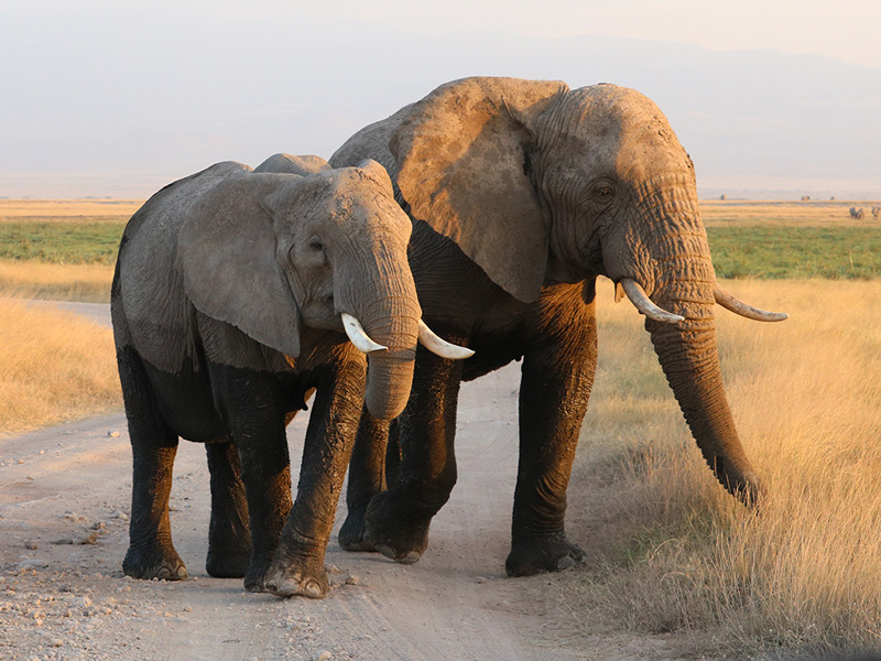 African elephants male and female