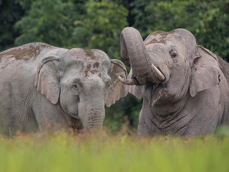 Asian elephant male and female