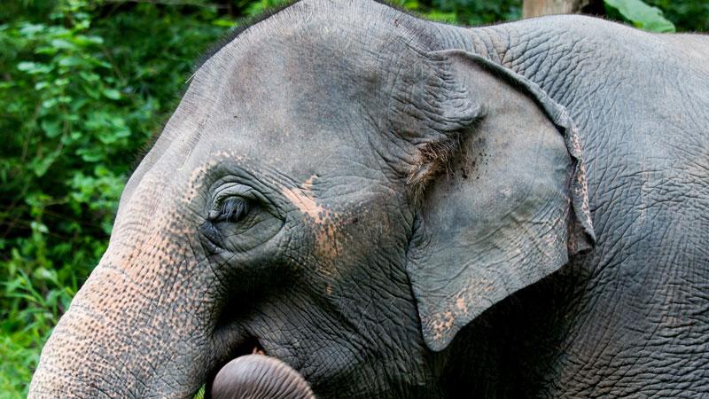 elephant ear canal location