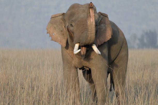 male elephant in musth