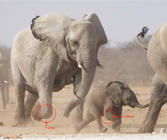 elephant limbs