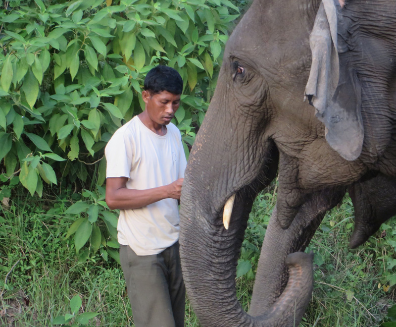 a mahout with elephants