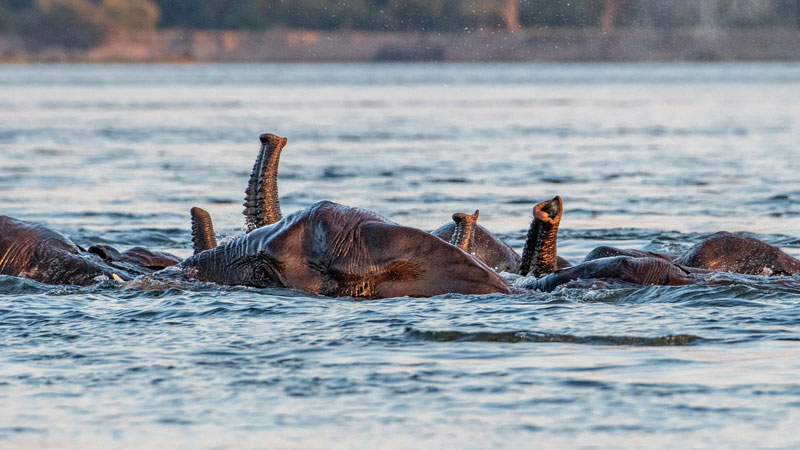 elephants using trunk like a snorkel while swimming