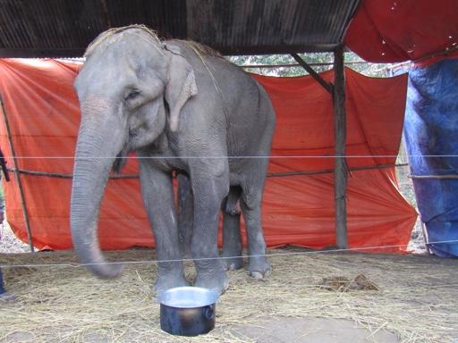 thin elephant
